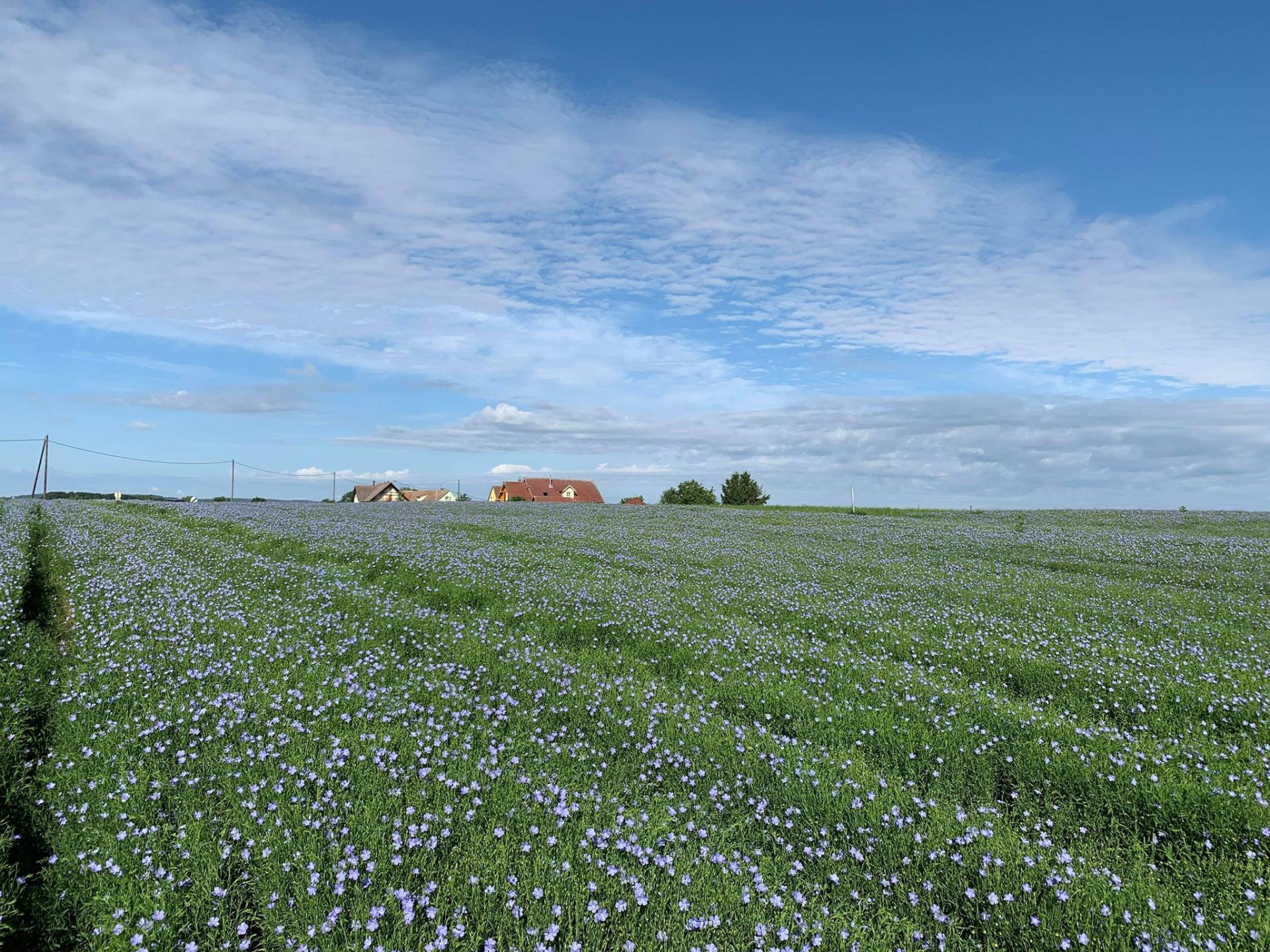 Le champ de lin en fleurs