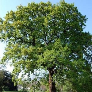 Quercus petraea chene rouvre racines nues